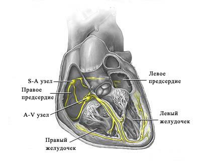 схема проводящей системы сердца.