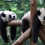 В Китае запустят «реалити-шоу» о пандах, которое можно будет смотреть круглые сутки