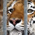 tigrvkletke